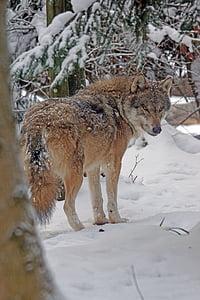 wolf, eurasisch, predator, pack animal, eurasian wolf, canis lupus, snow storms