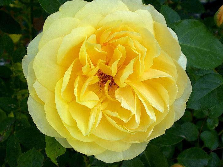 nousi, ruusut, tuoksu, Kaunis, nousi bloom, keltainen, ruusu