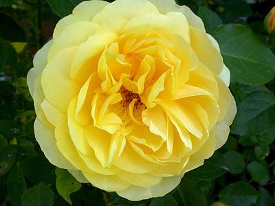 Rosa, Roses, fragància, bonica, flor rosa, groc, flor rosa