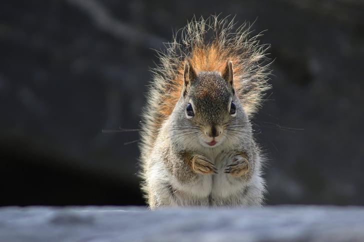 squirrel, animal, nature, wild, wildlife, forest, mammal