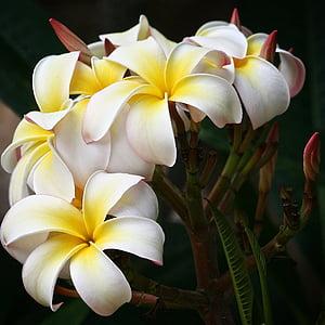 Plumeria, blomster, hvit, blomst, botaniske, natur, petal