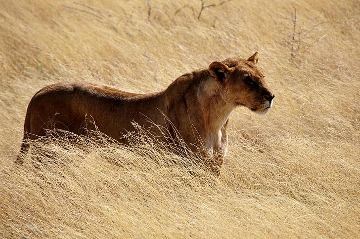 Лев, левиця, дикі, кішка, Кіт Лісовий, тварин, Природа