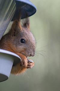 esquirol, potes, lleva, bigoti, l'ull, a l'orella, el cabell