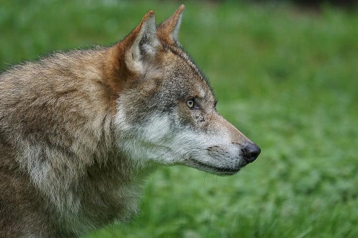 llop, Predator, carnívors, llop europeu, grup animal, atenció, fotografia de la natura