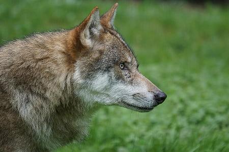 Wolf, Predator, kiskjaliste, Euroopa wolf, Pack looma, tähelepanu, eluslooduse fotograafia