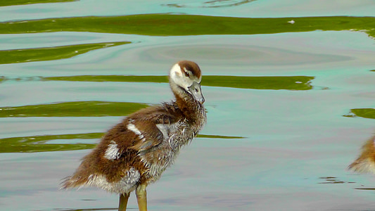 small, cute, fluff, young bird, nilgans, young animal, plumage