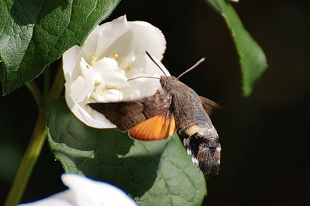hummingbird hawk moth, butterfly, moth, insect, wing, fly, nature