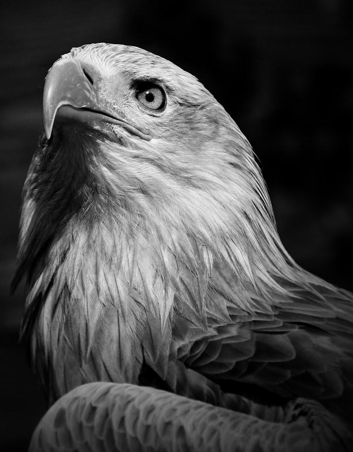 Eagle, lintu, ulkopuolella, nokka, Wild, Luonto, Predator