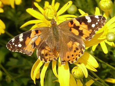 zlatne oči tratinčica, Žuti strauchmargerite, argyranthemum frutescens, stablo tratinčica, Marguerite, žuta, cvijet