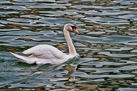 swan, river, water's edge, reflections, reflections on the water, magestic, bird