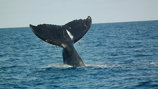 humpback tail, abrolhos, humpback whales, whale, sea, humpback Whale, animal