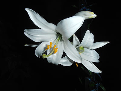 lily, white, flower, at night