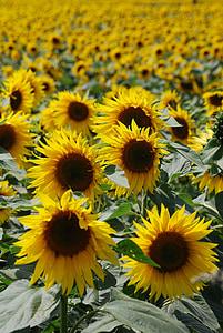 päevalill, Helianthus annuus, kollane, lill, seemne, värvilised, loodus