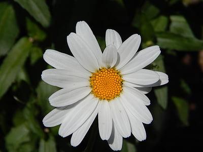 Daisy, Blume, Garten, Blumen, Flora, Anlage, gelb