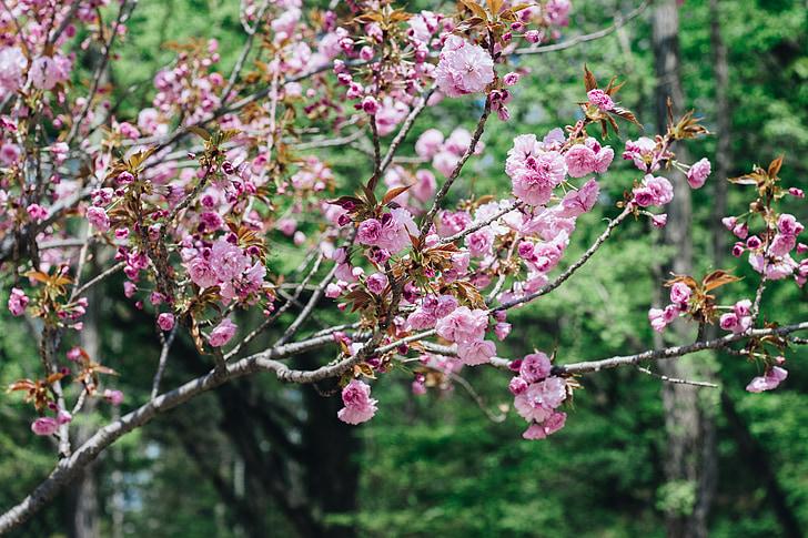 virág, cseresznye virágok, szezon