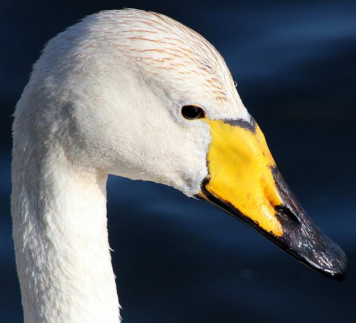 изключване на звука, лебед, Поен лебед, птица, вода, природата, извън