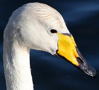 mute, swan, Whooper Swan, Bird, Water, Nature, Outside