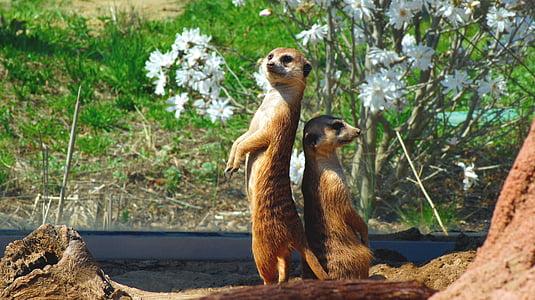 Meerkat, loomade, imetaja, Wildlife, Nunnu, Aafrika, Zoo