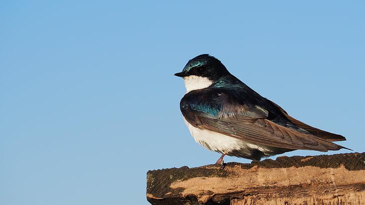 ptica, plava, nebo, šarene, strani profila, perje, smuđ