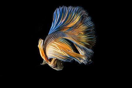 fish, fighting fish, black background, yellow fish, fish stripes, fish thailand, battle