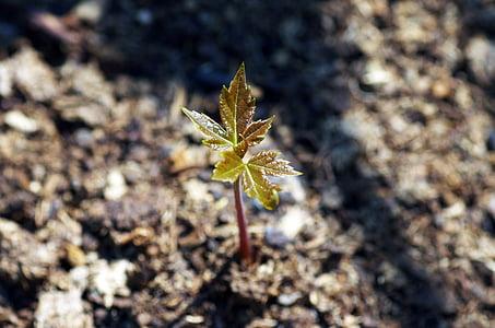 creixement, arbre, auró, primavera, medi ambient, fulla, verd