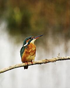 Vodomar, Muški, ptice, životinja životinje, jedna životinja, životinje u divljini, ptica