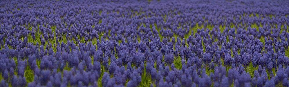 grape hyacinth, spring, flowers, nature, bloom, blue, garden
