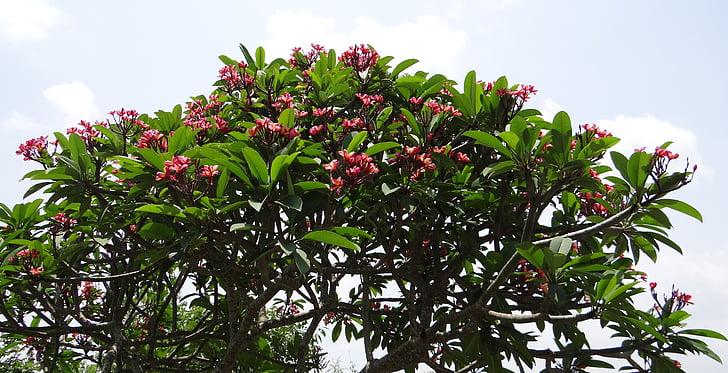 Plumeria rubra, Frangipani, rød frangipani, Temple tree, Plumeria, blomst, rød