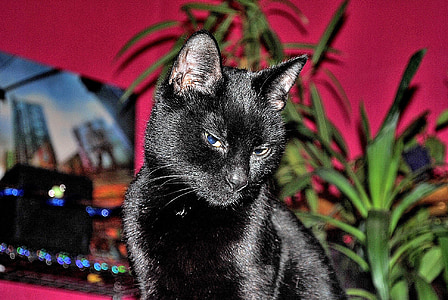black cat, mieze, domestic cat