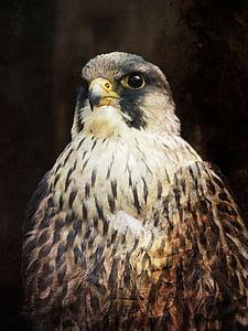 bird of prey, bird, beak, predator, eye