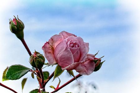 Rosa, Rosa, flor, flor, roses de jardí, Roses roses, flor rosa