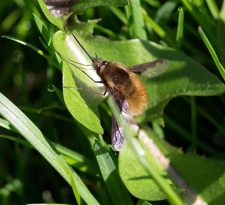 polinitzadors, dípters, gran bombyle, insecte, primavera, bombylius principals
