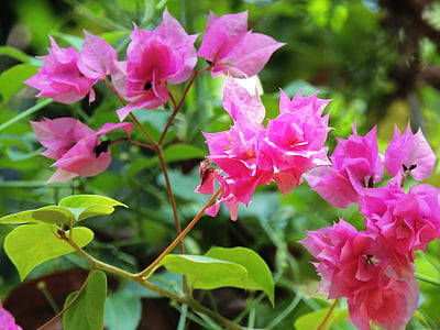 virág, Bougainvillea, rózsaszín, növény, gyönyörű, természet, szirmok