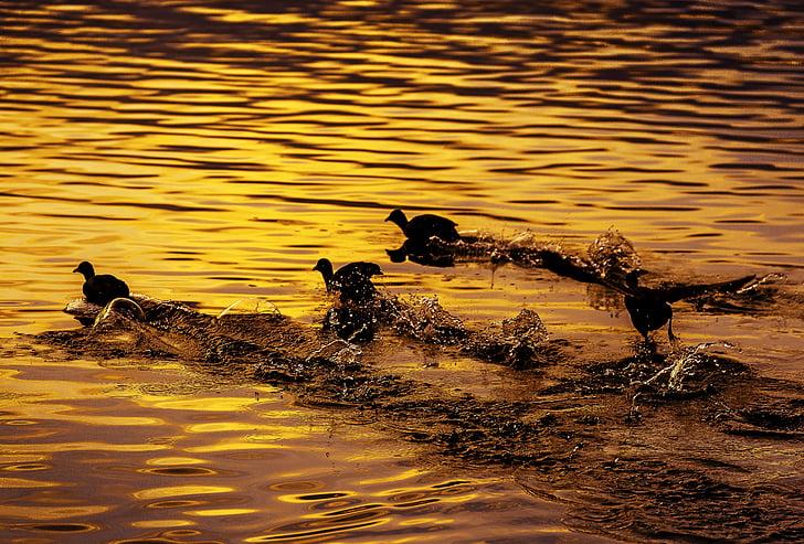 madár, folyó, repülés, szárcsa, Japán, naplemente, spray