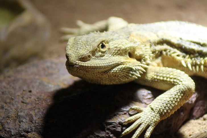 pogona vitticeps, pogona, bearded, dragon, bearded dragon, lizard, pet