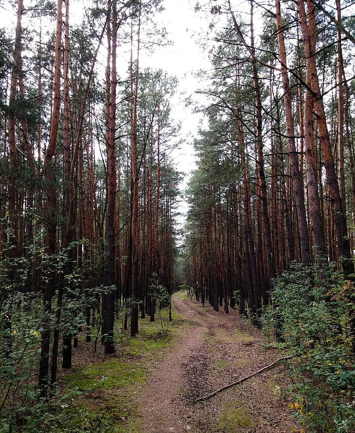 kelias, miško, rudenį, pušis, taip, paprastas, paprastas