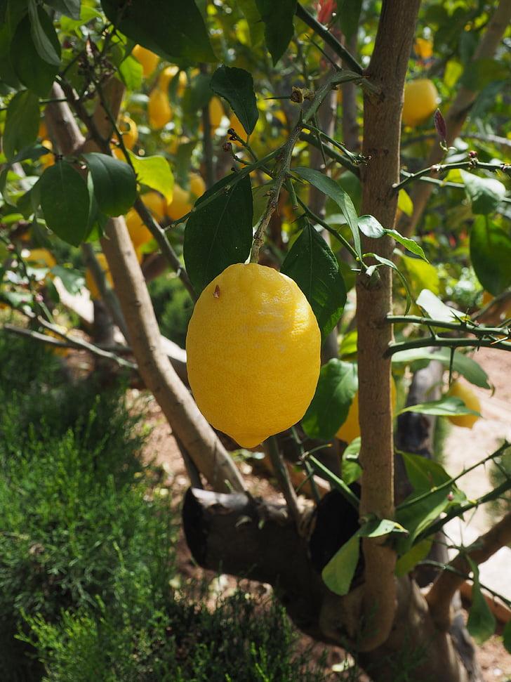 llimona, Limone, llimoner, Citrus × limon, cítrics, fruita, fruits tropicals