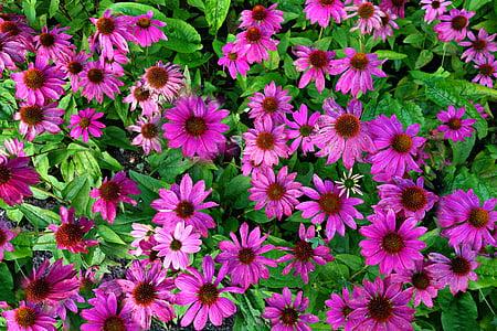 flor de con, flor porpra con, Echinacea purpurea, planta, flor, Medicina, natura