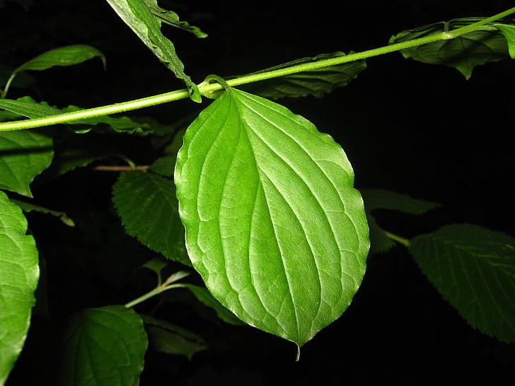 yaprak, karanlık, doğa, yaprakları, bitki, karanlık, Açık