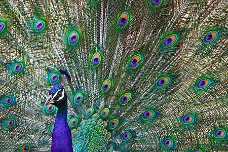 животни, паун, гордост, пера, птица, цветни, Зоологическа градина