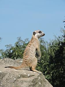 Meerkat, Zoo, Vaade, looma, Aafrika, Wildlife, imetaja