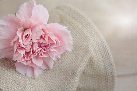 Clavell, flor, flor, flor, pètals, Rosa, flor rosa