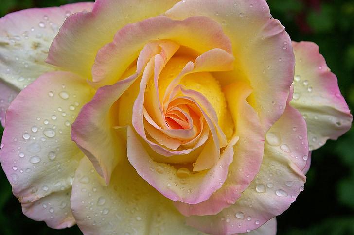 Gloria dei, tõusis, roosi aed, õis, Bloom, suvel, Aed