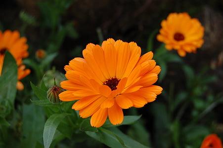Medetkų, gėlė, Medetkų, oranžinė
