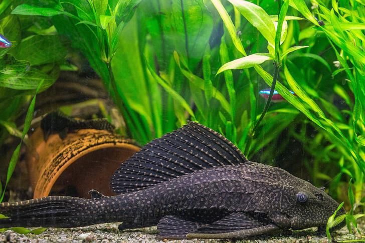 peix, Aquari, Wels, bresca signa silur, animal de companyia, natura, animal