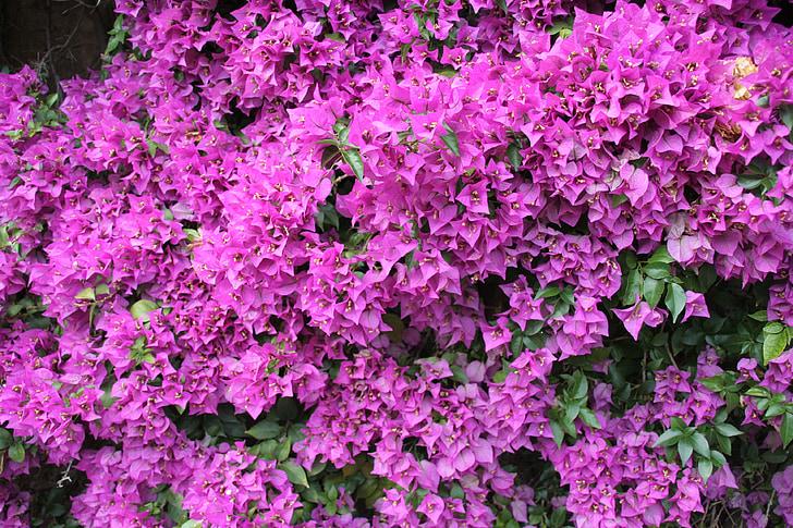 Бугенвиль, цветок, Блум, декоративные, пурпурный, Садоводство, Весна