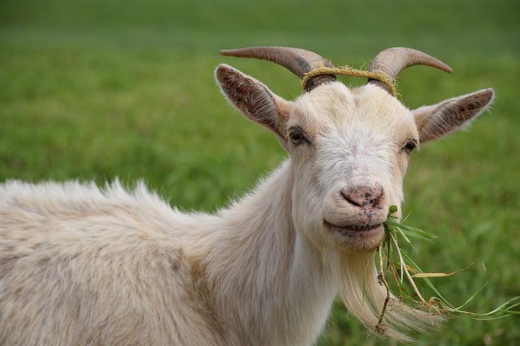 cabra, animal, Ramaderia, menjar, herba, les pastures