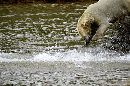 polar bear, big bear, white, mammal, big, nature, wildlife