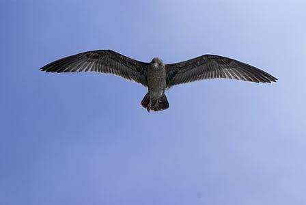 szürke sirály, tengeri sirály, madár repül