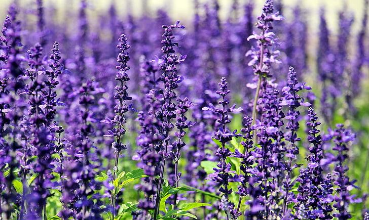 Levanda, gėlės, violetinės gėlės, mėlynos gėlės, Gamta, vasaros, gėlių violetinė